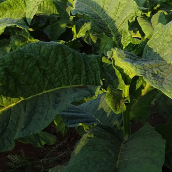 Close Up Volado Tobacco Leaves