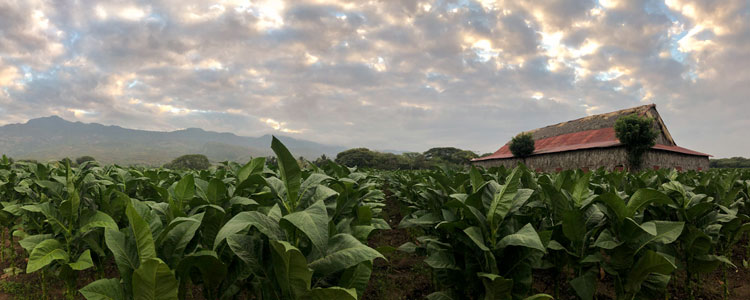 Davidoff Tobacco Field Dominican Republic